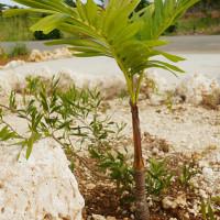 マニラヤシの苗木|宮古島の民宿 さんさーら