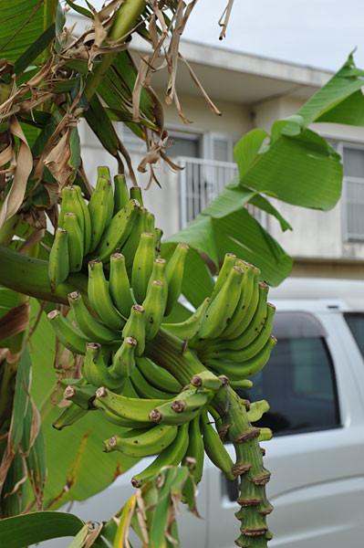 島バナナのある団地|宮古島の民宿 あがりの宿さんさーら