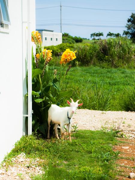 ヤギ|宮古島の民宿あがりの宿さんさーら